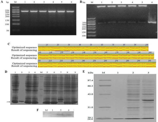Recombinant expression and purification of human S100A4 protein. (A) Agarose gel analysis of human S100A4 cDNA. Lanes 1–6, human S100A4 cDNA; lane M, DNA marker. (B) Agarose gel analysis of the pET32a-S100A4 vector following restriction enzyme treatment by using Ndel and Xhol. Lanes 1–5, pET32a-S100A4 digested by Ndel and Xhol; lane 6, positive control; lane M, DNA marker. (C) DNA sequencing result. (D) Recombinant expression of pET32a-S100A4. Lane 2, positive control; lane M, protein standards; lanes 1, 3–6, 8–9, induced products of pET32a-S100A4; lane 7, negative control. (E) SDS-PAGE analysis of bacterial cultures in the sediment fraction or supernatant fraction. Lane 1, positive control; lane M, protein standards; lane 2, induced products of pET32a-S100A4 in the supernatant fraction; lane 3, induced products of pET32a-S100A4 in the sediment fraction. (F) Western blot analysis of the recombinant protein. Lane M, protein standards; lane 1, negative control; lane 2, induced products of pET32a-S100A4 in the supernatant fraction; lane 3, induced products of pET32a-S100A4 in the sediment fraction.