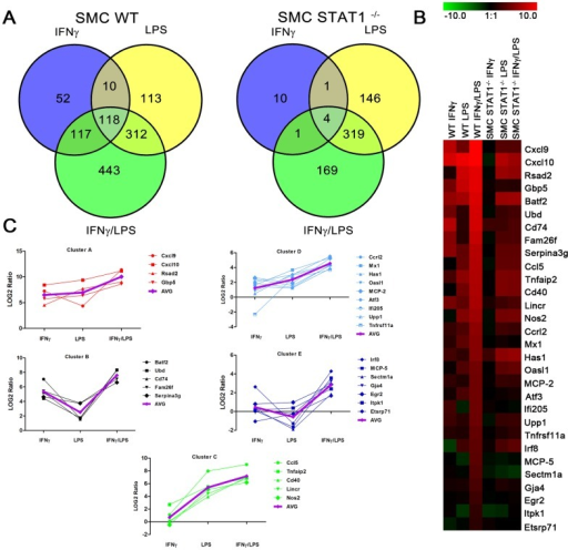 Identification of genes prone to synergistic amplification upon treatment with IFNγ and LPS.WT and STAT1−/− VSMCs were treated as described in Fig. 1. On RNA isolated from untreated or IFNγ, LPS or IFNγ+LPS treated VSMCs genome-wide expression profiling was performed. A, Venn diagrams revealing number of differentially expressed genes upon stimulation. B, Heat map of the expression of synergistically amplified genes in WT and STAT1−/−VSMCs. C, Clustering of the synergistically upregulated genes according to their expression profile. AVG, average expression in the group. For details see text.