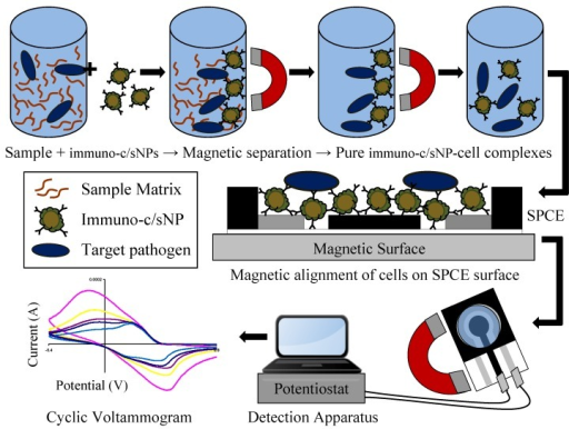Immunomagnetic separation from sample matrix, magnetic alignment on SPCE surface, and electrochemical detection of B. cereus and E. coli O157:H7 cells.