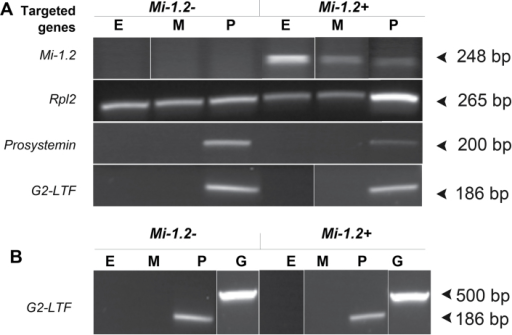 Localization of Mi-1.2 transcripts in tomato tissues. (A) RT-PCR was used to assess expression of Mi-1.2 in epidermis (E), mesophyll (M), and phloem (P) samples harvested by LCM from the petioles of 143-25 (Mi-1.2+) and the susceptible cultivar Moneymaker (Mi-1.2–). Primers to the ubiquitously-expressed housekeeping gene Ribosomal protein L2 (Rpl2) were used to confirm good cDNA synthesis, and primers that amplify phloem-specific transcripts (Prosystemin and G2-like transcription factor) were used to confirm that the microdissection procedure adequately separated vascular and non-vascular tissues. (B) The G2-like transcription factor (G2-LTF) primers were also used to confirm the absence of genomic DNA in the samples, because the primers flank an intron and generate different amplicon sizes from genomic DNA (G) versus our cDNA templates. The gel lanes in this figure were spliced and rearranged to conveniently compare gene expression among the targeted tissues.