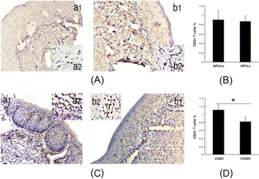 The distribution of CD3+ T cells in HPV-positive cervical tissues is similar to that in HPV-negative cervical tissues, but significantly increased in CINIII cervical tissues. A, a1 and a2, IHC of CD3+ T cells in HPV-positive cervical tissues detected by CD3 staining (IHC 10× and 100×); b1 and b2, IHC of CD3+ T cells in HPV-negative cervical tissues detected by CD3 staining (IHC × 10 and × 100). B, The bar graph shows CD3+ T cells as percentages of cervical tissues isolated from the HPV-positive and HPV-negative groups (p = 0.528). C, a1 and a2, IHC of CD3+ T cells in CINIII cervical tissues detected by CD3 staining (IHC 10× and 100×); b1 and b2, IHC of CD3+ T cells in all other < CINIII cervical tissues detected by CD3 staining (IHC 10× and 100×). D, The bar graph shows CD3+ T cells as percentages of cervical tissues isolated from CINIII and all other < CINIII cervical tissues (*p = 0.001).