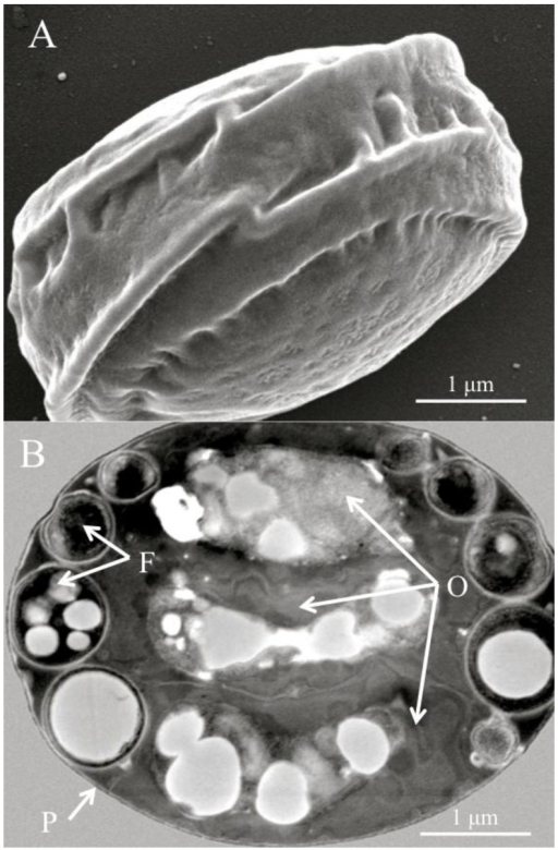 (A) Scanning electron micrograph of a diagnostic Helicosporidium cyst. (B) Transmission electron micrograph (cross section) detailing the core of three stacked ovoid cells (O) and the filamentous cell (F) contained within a pellicle (P).