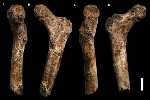 U.W. 101-1391 paratype femur.(A) Medial view; (B) posterior view; (C) lateral view; (D) anterior view. The femur neck is relatively long and anteroposteriorly compressed. The anteversion of the neck is evident in medial view. Scale bar = 2 cm.DOI:http://dx.doi.org/10.7554/eLife.09560.009