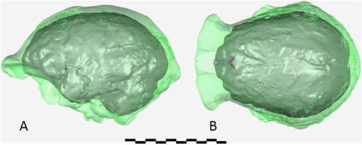 Virtual reconstruction of the endocranium of the larger composite cranium from DH1 and DH2 overlaid with the ectocranial surfaces.(A) Lateral view. (B) Superior view. The resulting estimate of endocranial volume is 560cc. Scale bar = 10 cm.DOI:http://dx.doi.org/10.7554/eLife.09560.016