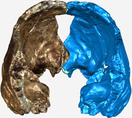 Posterior view of the virtual reconstruction of DH3.The resultant mirror image is displayed in blue. The antimeres were aligned by the frontal crest and sagittal suture using the Manual Registration function in GeoMagic Studio 14.0.DOI:http://dx.doi.org/10.7554/eLife.09560.020