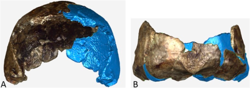 Virtual reconstruction of (A) DH2 and (B) occipital portion of DH1.The actual specimen displays its original coloration and the mirror imaged portion is illustrated in blue.DOI:http://dx.doi.org/10.7554/eLife.09560.021