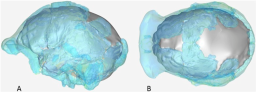 Virtual reconstruction of the endocranium of the composite cranium from DH3 and DH4 overlaid with the ectocranial surfaces.(A) Lateral view. (B) Superior view.DOI:http://dx.doi.org/10.7554/eLife.09560.025