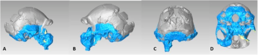 Virtual reconstruction the DH3/DH4 cranial base using a model of Sts 19.(A) Right lateral view. (B) Left lateral view. (C) Posterior view. (D) Inferior view.DOI:http://dx.doi.org/10.7554/eLife.09560.026