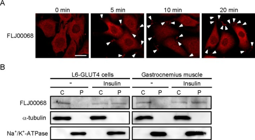 Insulin-dependent subcellular translocation of FLJ00068 to the plasma membrane in L6-GLUT4 cells and mouse gastrocnemius muscle.(A) Serum-starved L6-GLUT4 cells were stimulated with insulin for indicated times. Endogenous FLJ00068 was detected by immunofluorescent staining with an anti-FLJ00068 antibody. Arrow heads indicate the localization of FLJ00068 in the tip of membrane ruffle-like structures. Scale bar, 50 μm. (B) Localization of FLJ00068 in cytosol (C) and crude plasma membrane (P) fractions of insulin-stimulated and unstimulated L6-GLUT4 cells and mouse gastrocnemius muscle was examined by immunoblot analysis with an anti-FLJ00068 antibody. Α-tubulin and Na+/K+-ATPase were visualized as marker proteins for cytosol and crude plasma membrane fractions, respectively, by specific antibodies.