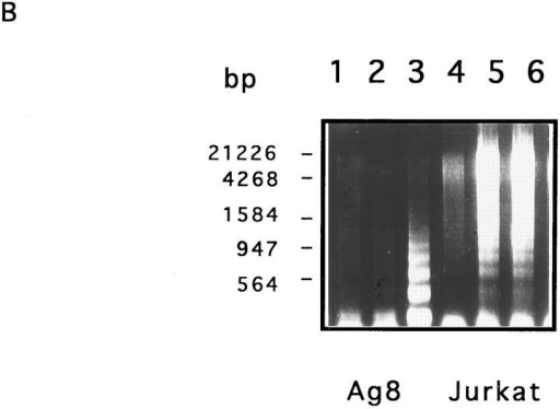 Induction of apoptosis and DNA fragmentation in Ag8  cells by recombinant mouse TRAIL. (A) The human T leukemia  cells Jurkat (Jurkat) (left panels), the mouse myeloma cells Ag8  (Ag8) (central panels), and the mouse T hybridoma cells 2H11  (TcHy) (right panels) were incubated with SN from Sf9 cells expressing mouse TRAIL (TRAIL) (upper panels), or mouse wildtype CD95L (CD95L) (lower panels). Results are presented as  forward/side scatter analysis of cellular morphology. Apoptotic  cells are shown in gate R1. (B) Soluble DNA was extracted from  Ag8 (Ag8) (lanes 1–3) and Jurkat cells (Jurkat) (lanes 4–6) (0.5 ×  106 cells/lane) incubated with SN from mock-infected Sf9 (lanes 1  and 4) or from Sf9 cells expressing mouse CD95L (lanes 2 and 5)  or mouse TRAIL (lanes 3 and 6). Extracted DNA was separated  on an agarose gel and visualized by ethidium bromide staining.  Molecular mass markers (MM) are shown. No soluble DNA was  extracted from TRAIL-resistant T hybridoma cells incubated  with either ligand.