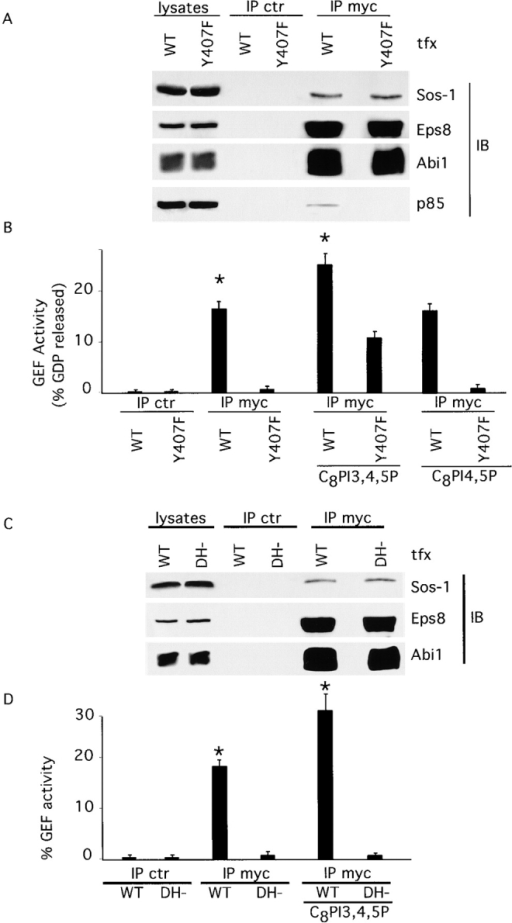PI3K recruitment to the Eps8–Abi1–Sos-1 complex is required for Rac-GEF activity, which is further increased by PIP3. (A) Cos-7 cells were transfected (tfx) with mycEps8 and Sos-1, together with either Abi1wt (WT) or the Y407F mutant (Y407F). Lysates were immunoprecipitated (IP) and immunoblotted (IB) with the indicated antibodies. Control immunoprecipitates were obtained using an irrelevant antibody. (B) Rac-GEF activity was measured in aliquots of the immunoprecipitates shown in A, in the absence or presence of the indicated water-soluble phosphoinositides (Han et al., 1998; supplemental materials). The difference in the samples marked by the asterisks was significant (P < 0.01) in a paired t test. (C) Cos-7 cells were transfected (tfx) with mycEps8 and Abi1, together with either Sos-1 (WT) or a dominant-negative mutant of Sos-1 (DH−). Lysates were immunoprecipitated (IP) and immunoblotted (IB) with the indicated antibodies. (D) Rac-GEF activity was measured on aliquots of the immunoprecipitate containing equal amounts of wild-type Sos-1 and the Sos-1 DH− mutant shown in C, in the absence or presence of the indicated water-soluble phosphoinositides. The difference in the samples marked by the asterisks was significant (P < 0.005) in a paired t test.