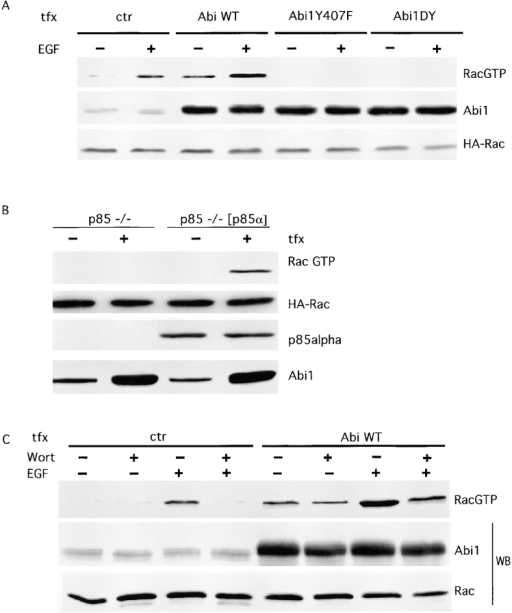 p85 is required for Abi1-induced activation of Rac in vivo. Cos-7 cells, transfected (tfx) with HA-Rac together with HA-Abi1, HA-Abi1Y407F, HA-Abi1DY, or the empty vector (ctr) were treated with 100 ng/ml of EGF for 3 min (+) or mock-treated (−). Lysates were either incubated with GST-CRIB and detected with anti-Rac antibodies (RacGTP), or directly immunoblotted with the indicated antibody. (B) p85α/p85β-double (p85 −/−) and p85β-single (p85 −/− [p85α]) knockout MEFs, transfected (tfx) with HA-Rac together with either an HA-Abi1 (+) vector or the empty vector as control (−), were serum-starved for 24 h. Lysates were incubated with GST-CRIB as described above and detected with anti–HA-Rac antibody (RacGTP) or directly immunoblotted with the indicated antibody. (C) Cos-7 cells, transfected (tfx) with HA-Rac together with Abi1 (Abi WT) or the empty vector (ctr), were incubated for 1 h with 100 nM of wortmannin (Wort, + lanes) or vehicle (Wort, − lanes), as a control, and treated with EGF (EGF, + lanes) or mock-treated (EGF, − lanes). Rac-GTP levels, total Rac, and the expression of Abi1 were determined as in A.