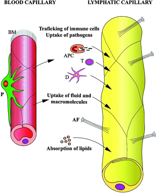 Characteristic Structure And Function Of The Lymphatic Open I