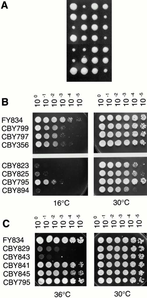 Genetic experiments with erv41Δ and erv46Δ strains. (A) An erv14Δ strain (CBY358) was mated with an erv46Δ strain (CBY799), and spores were dissected on a YPD plate. Spores that germinated and grew slower were shown to carry both deletions. (B) Cold sensitivity of erv14Δ, erv41Δ, and erv46Δ strains. Wild-type (FY834), erv46Δ (CBY799), erv41Δ (CBY797), erv14Δ (CBY356), erv14Δ erv46Δ (CBY823), erv14Δ erv41Δ (CBY825), erv41Δ erv46Δ (CBY795), and erv14Δ erv41Δ erv46Δ (CBY894) strains were grown to saturation in YPD, adjusted to an OD600 of 3.0, and 5 μl of a 10-fold dilution series were spotted onto YPD plates. (C) Effects of erv41Δ and erv46Δ mutations on the ypt1-3 mutation. Wild-type (FY834), ypt1-3 (CBY829), erv46Δ ypt1-3 (CBY843), erv41Δ ypt1-3 (CBY841), erv41Δ erv46Δ ypt1-3 (CBY845), and erv41Δ erv46Δ (CBY795) cells were spotted on YPD plates as in B.
