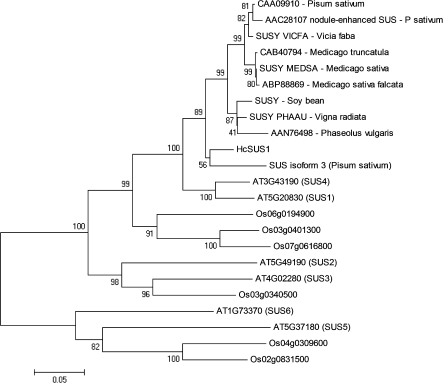 Phylogenetic relationship of sucrose synthase of Angiosperms. Distances were calculated on the basis of positions 429–810 of A. thaliana (SUS4). The nucleotide sequence can be accessed at NCBI: EU370970. Accession numbers are as follows: A. thaliana (At-SUS1, AT5G20830; At-SUS2, AT5G49190; At-SUS3, AT4G02280; At-SUS4, AT3G43190; At-SUS5, AT5G37180; At-SUS6, AT1G73370), Oryza sativa (six members), and legumes (SUSY VICFA, P31926; SUSY MEDSA, O65026; SUSY PHAAU, Q01390; SUS isoform 3, CAC32462). The values presented represent the bootstraps. Dicot=eudicotyledons.