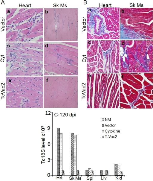 Tissue Staining Immunochemical Enzyme Linked: Pntd-0000797-g006:Prophylactic Efficacy Of TcVac2 Against