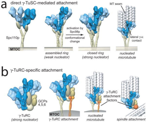 Models of nucleation complex attachment and activationa) In the absence of γTuRC-specific components, as in Saccharomyces, Spc110p, or its equivalent, directly attaches γTuSC to microtubule organizing centres, promoting ring assembly. We hypothesize a conformational change in Spc98p promotes nucleation by rearranging γ-tubulin into an exact microtubule template. b) In organisms with complete γTuRCs, active complexes attach to organizing centres directly via γTuSCs, or potentially through unique sites in the γTuRC-specific components. Localization of γTuRCs at non-MTOC locations, for example within the mitotic spindle, is mediated through the γTuRC-specific proteins. In both scenarios, γTuSC interactions define the geometry of the nucleating template.