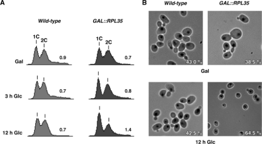 Depletion of L35 leads to a mild delay of the cell cycle at the G1 phase. (A) FACS analysis of unsynchronized cells from the BY4741 (Wild-type) or the RBY175 (GAL::RPL35) strains. Cells were grown in YPGal (Gal) or shifted for up to 12 h to YPD (Glc) at 30°C. 1C and 2C peaks correspond to cells with unreplicated and duplicated genomes, respectively. Numbers refers to the 1C/2C area peak ratios (B) Cell morphology of the wild-type and GAL::RPL35 cells. Cells were stained with DAPI for localization of nuclei and then visualized by fluorescence and visible phase contrast microscopy. Only merged images are shown. Numbers refer to mean percentages of unbudded cells after three independent experiments.
