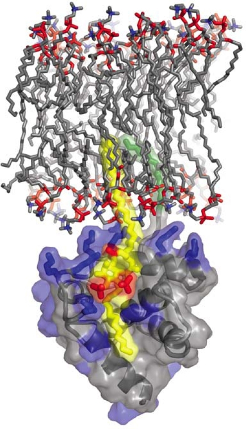 Complex between HIV-1 MA and PI(4,5)P2. The highly basic surface of MA (blue) exhibits electrostatic interactions with PI(4,5)P2 (yellow and red phosphates). The 2′-unsaturated acyl chain of PI(4,5)P2 (yellow) binds to the hydrophobic cleft in MA and the myristyl group (green) of MA inserts into the lipid bilayer. Unpublished image provided by Dr. M. Summers, based on the data of Saad et al. [124].