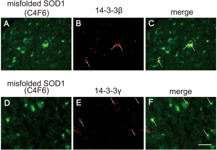 Neuronal inclusions double-positive for C4F6 and 14-3-3 in the spinal cord of mutant SOD1-Tg mice.Immunofluorescence for C4F6 (A, D, green), 14-3-3β (B, red), and 14-3-3γ (E, red), double immunofluorescence for C4F6 and 14-3-3β (C, merge), and double immunofluorescence for C4F6 and 14-3-3γ (F, merge) are shown in the anterior horn cells. Bar indicates 20 µm.