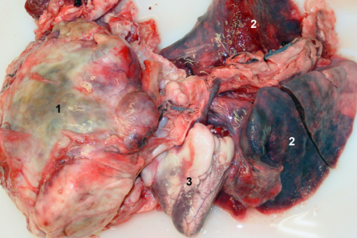 Gross pathological findings. Gross pathological findings in a miniature goat with thoracic osteosarcoma. 1 Precardial mass, 2 Lung, 3 Heart.