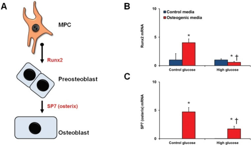 Differentiation of bmMPCs into osteocytes.bmMPCs were cultured in 5 mmol/L (control glucose) or 25 mmol/L (high glucose; HG) glucose for 7 days prior to differentiation and assessed for induction of Runx2 and SP7 (A). (B) 14-day differentiation of bmMPCs into osteocytes showed significantly depressed expression of Runx2 and SP7 in HG treated cells [*p<0.05 compared to control media; †p<0.05 compared to cells treated with control glucose + differentiation media].