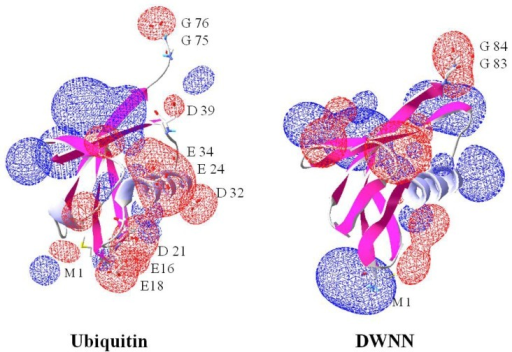 Comparison of charge topologies of DWNN and ubiquitin viewed in SPDBviewer. The positive charges are shown in blue while the negative charge is shown in red. Ubiquitin shows an equal charge distribution while DWNN shows a much higher positive charge. This implies that ubiquitin will probably be able to associate with a wider range of proteins due to it having negative and positive areas. Note the diglycine gives a negative charge in both molecules allowing them to associate with the positively charged lysine during modification.