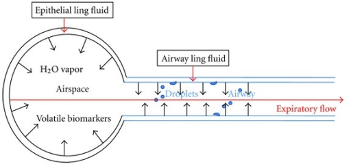 Nonvolatile and volatile components in EBC. Water vapor is rapidly diffused from the lining fluid on the surface of the airway (bronchi) and airspace (alveolar) into the expiratory flow. Droplets (nonvolatile biomarker) formation in the lung is largely from the lining fluid of the airway where turbulence is encountered. Respiratory gases (volatile biomarkers) are from both airspace and airway, and more soluble vapors are typically greater in the airway [5, 67].