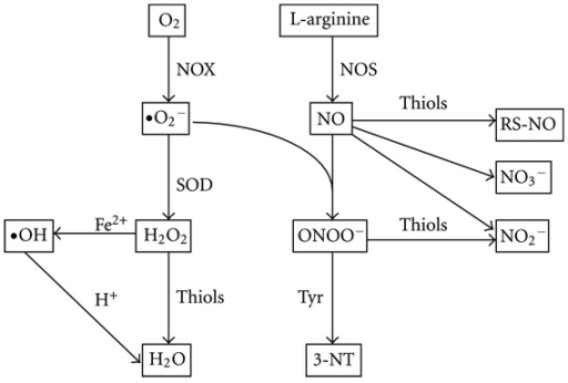 Reactive oxygen and nitrogen species and redox relevant molecules in EBC. Exhaled nitric oxide (NO) is derived from L-arginine by enzyme nitric oxide synthase (NOS). NO can combine with superoxide (•O2−) to form peroxynitrite (ONOO−). ONOO− induces nitrosation of tyrosine (Tyr) residues and forms 3-nitrotyrosine (3-NT). NO can also react with thiols to form S-nitroso thiols (RS-NO). The end-products of NO are nitrite (NO2−) or nitrate (NO3−). •O2− is one of major reactive oxygen species generated from NADPH oxidase (NOX) or mitochondrial electron transfer chain. •O2− is converted to hydrogen peroxide (H2O2) by superoxide dismutases (SOD). H2O2 can be converted to the highly reactive hydroxyl radical (•OH), which is catalyzed by Fe2+ (Fenton reaction). H2O2 can be removed by thiol-specific antioxidant enzymes to form water.