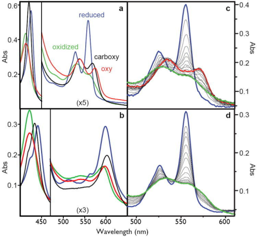 Left: the spectra of the oxidized (green), reduced (blue), carboxy-ferrous (black) or oxy-ferrous (red) artificial oxygen transport protein 6 with either heme B (A) or heme A as the cofactor (B). These spectra are obtained at -15C where these spectra are stable for more than an hour. Right: stopped-flow spectral changes for mixing the reduced heme B proteins with oxygen at 15C. The fully designed oxygen transport protein 6 (C), shows the transformation of the reduced heme (blue) to the oxy-ferrous state (red) which eventually becomes oxidized (green), while the early intermediate 2 (D) proceeds directly and rapidly to the oxidized form.
