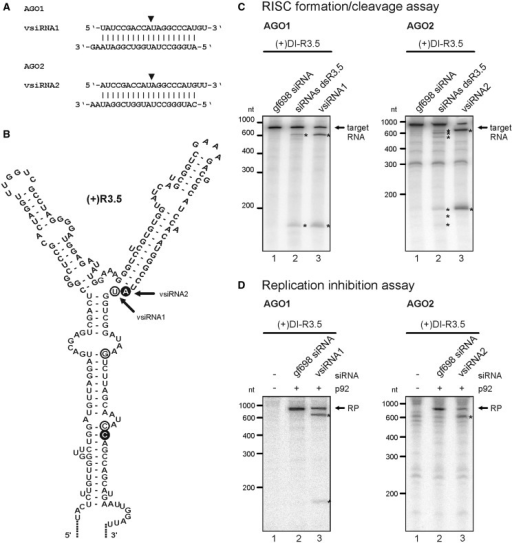 Identification and characterization of effective vsiRNAs. (A) Sequences of vsiRNAs1 and 2 that were identified to effectively target the TBSV R3.5 element. The siRNAs were deduced from cleavage products of 'RISC formation/cleavage assays' that applied the indicated AGO proteins, a pool of dsR3.5-derived siRNAs, and (+)DI-R3.5 as a target RNA. The position between the guide strand's nucleotides 10 and 11 that is opposite the cleavage site in the target RNA (52, 53) is indicated by a triangle. (B) RNA secondary structure of the TBSV R3.5 region [modified from a previous study (38)]. Circles indicate the 5′-ends of RNA cleavage products, the cDNAs of which were cloned from 'RISC formation/cleavage assays' that applied AGO1 (white circles, Figure 3A, left panel) or AGO2 (black circles). Corresponding vsiRNAs were deduced via nucleotide 10 of the guide strand that should be complementary to these cleavage sites (indicated by the triangle in A). Arrows indicate the 5′-ends of the most frequently cloned cleavage products that led to the identification of vsiRNAs1 and 2. (C) 'RISC formation/cleavage assays' that were performed with AGO1, AGO2 and labeled (+)DI-R3.5 target RNA. The assays were performed as described in Figure 3A and tested the dsR3.5-derived siRNA pool side-by-side with the synthetic vsiRNA1 (left panel) and vsiRNA2 (right panel), respectively. Target RNA and cleavage products are indicated in the same way as in the previous figures. Lanes 1; assays performed with a non-specific ('gf698') siRNA (negative control). Lanes 2; assays performed with the dsR3.5-derived siRNA pool (siRNAs dsR3.5). Lanes 3; assays performed with vsiRNA1 or vsiRNA2. (D) 'Replication inhibition assays' with AGO1 and vsiRNA1 or AGO2 and vsiRNA2. The assays were carried out as described in Figure 3B (variant 1) using (+)DI-R3.5 RNA. RP and cleavage products (asterisks) are indicated. Lanes 1; assays performed in the absence of p92 (no replication). Lanes 2; assays performed in the presence of a non-specific ('gf698') siRNA (negative control). Lane 3; assays performed in the presence of vsiRNA1 or vsiRNA2.
