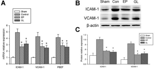 mRNA expression of ICAM-1, VCAM-1 and PBEF and protein expression of ICAM-1 and VCAM-1 in lung. A) Real-time PCR showed that the expression levels of ICAM-1, VCAM-1 and PBEF mRNA decreased significantly in the EP and GL groups compared to the control group. B) Western-blot showed that the expression levels of ICAM-1 and VCAM-1 protein decreased significantly in the EP and GL groups compared to the control group. C) Quantitative assessment of protein relative to β-actin showed that the expression levels of ICAM-1 and VCAM-1 protein decreased significantly in the EP and GL groups compared to the control group. * P < 0.05 versus the control group. EP, ethyl pyruvate; GL, glycyrrhizin; ICAM-1, intercellular adhesion molecule-1; PBEF, pre-B-cell colony-enhancing factor; VCAM-1, vascular cell adhesion molecule 1.