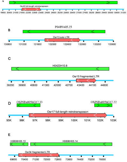 Five cases of association between retroelements with O. sativa putative genes observed in this study. Red arrows indicate positions of LTR retroelements with the direction of transcription. Green bars represent NCBI database-predicted gene regions with their orientation of transcription. All the five associations (from A to E) are located in the following genomic clones: AP003103, AP003105, H0423H10, AC018727 and H0806H05. (A) An entire full-length Osr43 retrotransposon is completely a part of a putative rice gene (B1085F09.5) of unknown function. (B) An Osr13 solo LTR is entirely a part of a putative rice gene (P0489A05) of unknown function. (C) An Osr15 fragmented LTR is completely a part of an unknown gene (H0423H10.8) and overlaps two introns (No. 1 and 2) and No. 2 extron of the gene. (D) An Osr17 full-length retrotransposon overlaps two putative genes nearby (OSJNBa0056G17.33 and OSJNBa0056G17.22) of unknown function. (E) An Osr34 fragmented LTR is associated with two putative genes nearby (H0806H05.13 and H0806H05.14) of unknown function. It constitutes extrons and introns of these two genes.