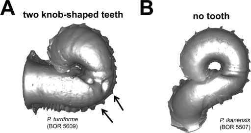 Different types of basal constriction teeth in top view. A two teeth after operculum resting site: one ridge runs parallel to the whorl growing direction; the other ridge has a knob at one end and runs perpendicular to the whorl growing direction B no tooth.