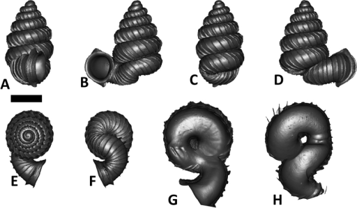 Plectostoma salpidomon (van Benthem Jutting, 1952) BOR 5539. A frontal view B leftlateral view C back view D right lateral view E top view F bottom view G parietal part of constriction inner whorl H basal part of constriction inner whorl. Scale bar = 1 mm (for A–F).