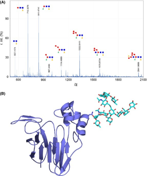 (A) N-glycan structures detected by mass spectrometry. Circles correspond to mannose, squares to N-acetylglucosamine, triangles to fucose, and stars to xylose. (B) Ribbon diagrams of Act d 2 showing the main sugar moiety as stick-like structures.