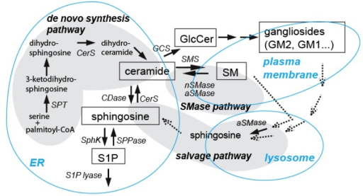 "Ceramide generating pathways. Three major pathways for ceramide generation are shown here. Ceramide is synthesized via ""de novo synthesis pathway"" in endoplasmic reticulum (ER), which involves several enzymes including serine palmitoyltransferase (SPT, the initial sphingolipid synthesizing enzyme) and ceramide synthase (CerS). Ceramide can be generated by activation of neutral (n) or acid (a) SMases (""SMase pathway""), often found in the plasma membrane. In the ""salvage pathway"", ceramide is synthesized by CerS from sphingosine released from the lysosome. Although not shown here, ceramide generation may also occur in the mitochondria, where ceramide generating enzymes, such as CerS, have been found. These pathways are activated by a variety of apoptotic inducers in various cell types including neurons as described in the text. (CDase, ceramidase; SphK, sphingosine kinase; SPPase, S1P phosphatase; GCS, glucosylceramide synthase; SMS, sphingomyelin synthase; GlcCer, glucosylceramide.)"