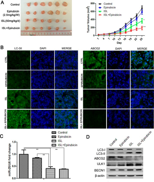 ISL reverses breast cancer drug resistance by inducing autophagy miR-25 downregulation(A) ISL synergistically interacted with epirubicin to inhibit the growth of drug-resistant breast cancer xenografts (the values represent the means ± SD, n=6, *P<0.05, **P<0.01 vs. epirubicin group); (B) immunofluorescence results showed that ISL induced the upregulation of LC3-II and the downregulation of ABCG2 in breast cancer tissues; (C) qPCR results confirmed that ISL inhibited miR-25 expression in vivo (the values represent the means ± SD, n=3,**P<0.01); (D) western blotting validated that ISL inhibited ABCG2 expression and activated autophagy markers in vivo, including the upregulation of LC3-II, ULK1 and BECN1.