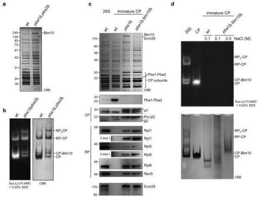 Pba1-Pba2 prevents RP association with immature CP(a) Proteasomes were purified from indicated strains, resolved by SDS-PAGE, and stained with Coomassie Brilliant Blue (CBB). (b) Native gel analysis of samples from (A) stained in gel with the proteasome substrate suc-LLVY-AMC (left) or stained with CBB. (c) 26S proteasome or immature CP were affinity-purified using ProA-tagged β4 or TAP-tagged Ump1 respectively. Purified complexes were resolved on SDS-PAGE and stained with CBB (top) or immunoblotted for Pba1-Pba2, indicated proteasome subunits (CP indicates core and RP indicates regulatory particle subunits), and Ecm29. The asterisk marks a non-specific band. (d) 26S proteasome and CP were purified using standard protocols. Immature CP was purified and washed with buffers containing the indicated NaCl concentrations. Samples were resolved on a native gel and stained with either suc-LLVY-AMC (top) or with CBB (bottom).