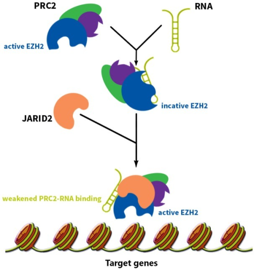 The RNAs recruiting PRC2 complex inhibit PRC2 function. These RNAs guide PRC2 to its target gene and inhibits EZH2 enzymatic activity at the same time. When PRC2 reaches its target gene, another protein called JARID2 comes into play and binds to EZH2, weakens EZH2-RNA binding, and consequently activates EZH2's function.