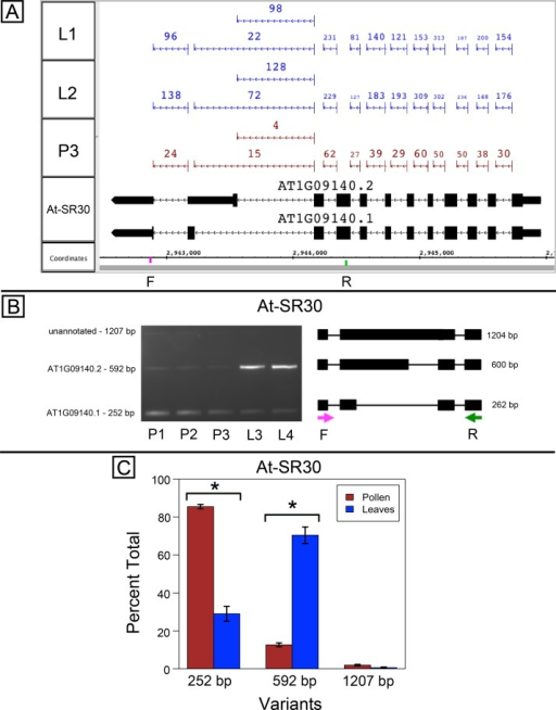 Pollen-specific splicing in At-SR30.(A) Junction features from RNA-Seq reads for leaf (L1, L2) and pollen (P3) samples alongside annotated gene models. Numbers indicate how many spliced reads supported the indicated junction in pollen and leaf RNA-Seq libraries. Arrows indicate the direction of transcription and taller blocks show translated regions. Primers used in semi-quantitative PCR are shown. Primer sequences were CCAGTGGCCAGTTTTCATTT (F) and GTGTGAGTCGAAGCCCAGAT (R). (B) Gel electrophoresis of PCR amplification of pollen (P1, P2, P3) and leaf (L3, L4) cDNAs and corresponding model of alternative splice variants. Estimated fragment size from gel and theoretical fragment size based on splice model found to left and right, respectively, in base pairs (bp). (C) Percent total of each observed splice variant in pollen and leaf samples quantified from gel electrophoresis in (B). Values are averages of replicate samples. Error bars indicate two standard deviations. Asterisk indicates p-value less than 0.05, double asterisk less than 0.01.