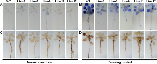 Detection of ROS in WT and transgenic Arabidopsis plants.(A) NBT staining for superoxide in WT and transgenic Arabidopsis under normal condition and (B) freezing stress. (C) DAB staining for hydrogen peroxide in WT and transgenic Arabidopsis under normal condition and (D) freezing stress.