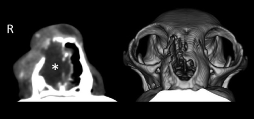 The left panel shows a computed tomographic (CT) image after administration of acontrast agent at the level of the canine teeth. The animal's right nasal cavity (R)is occupied by a large mass (*) that lacks contrast enhancement. The right panel showsa reconstructed image from multiple CT images of the head; the right side of the nasalbone is largely destroyed.