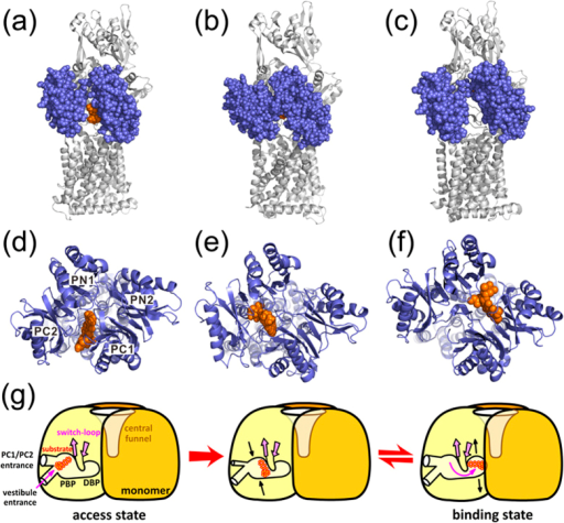 Stepwise substrate translocation during the access to binding transition in thefunctional rotating mechanism of AcrB.(a,d) Side and top views of the access protomer with DOX bound atthe lateral PC1/PC2 cleft in the crystal structure 4DX7 (with one of the DOXsremoved). DOX is represented by VDW mode and colored in orange. In the side view,the PC1 and PC1 subdomains are shown in VDW model and colored in ice blue.(b,e) Side and top views of the binding protomer with DOX boundin the PBP observed in the ABF simulations. (c,f) Side and top viewsof the binding protomer with DOX bound in the DBP in the crystal structure 4DX7.(g) A cartoon diagram showing substrate translocation and conformationalchanges during the access to binding transition of AcrB.