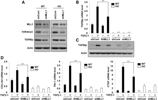 MLL1 knockdown attenuated the TGFβ1-induced expression of TGFBIp and ECM-associated genes. a Wild-type and GCD2-homozygous corneal fibroblasts were infected with MLL1 or control shRNA lentivirus. After puromycin selection, MLL1, H3K4me3, TGFBIp, and actin protein levels were analyzed by western blot. b-d Wild-type and GCD2-homozygous corneal fibroblasts were infected with MLL1 or control shRNA lentivirus. After puromycin selection, infected cells were stimulated with TGFβ1 (5 ng/ml) for 8 h, and mRNA and protein levels of TGFBIp were analyzed by RT-qPCR (b) and western blot (c). mRNA levels of ECM-associated genes were analyzed by RT-qPCR (d). Gene expression was normalized to that of GAPDH (internal control), and results are expressed as fold stimulation over control shRNA-infected wild-type control (mean ± standard error (SE); **P < 0.01 vs. control, n = 3)