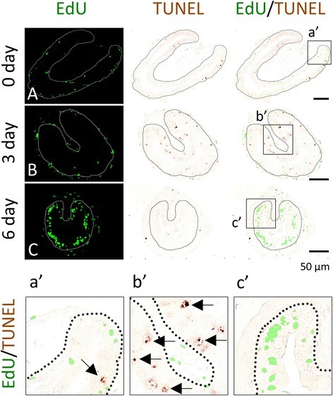 EdU and TUNEL-labeling reveals that apoptotic and proliferating cells are non-overlapping epithelial cells during T3-induced intestinal metamorphosis. Premetamorphic stage 54 tadpoles treated with 10 nM T3 for 0 (A), 3 (B), or 6 days (C) and were sacrificed 1 h after injection with EdU. Cross-sections of the intestine from the resulting tadpoles were double-stained for apoptosis by TUNEL and for EdU. Higher magnifications of boxed areas in (A–C) are shown in (a′–c′). The dotted lines depict the epithelium-mesenchyme boundary (see Fig. 1). Note that apoptosis in the epithelium occurred prior to the appearance of the clusters (islets) of EdU labeled cells and in distinct epithelial cells during T3 treatment (C, c′)