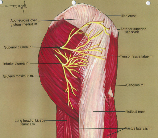 aponeurosis; gluteus medius muscle; superior cluneal nerve; inferior cluneal nerve; gluteus maximus muscle; biceps femoris muscle; iliac crest; anterior superior iliac spine; tensor fascia latae muscle; sartorius muscle; iliotibial tract; vastus lateralis muscle