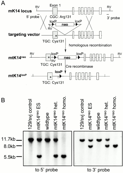 Targeting strategy and Southern blot analysis. (A) Targeting strategy. Open boxes represent the exons. The asterisk denotes the C→T point mutation, and neo denotes the neomycin-resistance selection cassette. (B) Southern blot analysis of EcoRV-digested genomic DNA. The 5′ external probe (A) hybridized to an 11.7-kb fragment from the wild-type K14 locus, and a 5.5-kb fragment from the mtK14neo locus. The 3′ external probe (A) hybridized to the same 11.7-kb fragment from the wild-type K14 locus, and an 8.0-kb fragment from the mtK14neo locus. het., heterozygote; homo., homozygote.