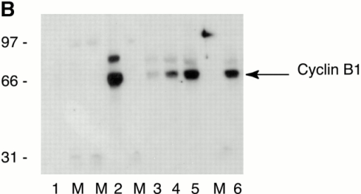 "(A) Human B-type cyclins are expressed to similar levels in CHO cells. Serum-starved CHO cells were transfected with plasmids encoding human cyclin B1 or B2 and/or CDK1AF all tagged with one copy of the myc epitope and under the ""tetracyclin-OFF"" promoter. Cells were incubated in the presence or absence of tetracyclin to repress or induce protein expression, respectively. 16 h after induction, cells were lysed, and the extracts were run on one-dimensional SDS-PAGE and then immunoblotted with the 9E10 mAb to detect the proteins. Lane 1, mock-transfected cells; lanes 2–5, transfected cells: (lane 2) cyclin B1 plasmid plus tetracyclin; (lane 3) Cdk1AF; (lane 4) cyclin B1 minus tetracyclin for 16 h; (lane 5) cyclin B2 minus tetracyclin for 16 h. (B) Ectopic and endogenous cyclin B1 are expressed at similar levels in CHO cells. Approximately 980 serum-starved CHO cells were microinjected with plasmids encoding myc epitope–tagged human cyclin B1 with CDK1AF. 6 h after microinjection, cells were lysed and the samples were run on one-dimensional SDS-PAGE next to lysates from 250, 500, and 1,000 mitotic cells. Proteins were immunoblotted with an anticyclin B1 monoclonal antibody V152 that recognizes both human and rodent cyclin B1 to detect the proteins (a gift from J. Gannon and T. Hunt). Lane 1, uninjected cells; lane 2, cells injected with cyclin B1–CDK1AF; lanes 3–5, 250, 500, and 1,000 mitotic HeLa cells; lane 6, 1,000 mitotic CHO cells. M, molecular mass marker lane. Results shown are representative of three independent experiments. (C) There are no detectable endogenous mitotic cyclins in serum-starved CHO cells with or without ectopic human cyclin–CDKs. (a–d) CHO cells were serum starved for 24 h and then microinjected with NAGT–GFP as a Golgi apparatus and injection marker (green) and TOTO-3 to visualize the DNA (blue) together with CDK1AF and either cyclin B1 (a and b) or cyclin B2 (c and d). 6 h after microinjection, cells were fixed and stained with an anti–mouse cyclin A antibody (red) (a gift from Dr. M. Carrington, University of Cambridge, Cambridge, UK) (a and c) or with an anti–rodent cyclin B1 monoclonal antibody V143 (red) that recognizes rodent B-type cyclins but does not cross-react with human B-type cyclins (a gift from J. Gannon and T. Hunt) (b and d). (e and f) Uninjected asynchronous (e) and serum-starved (f) CHO cells were costained with anticyclin A (red), anticyclin B1 (green), and TOTO-3 to visualize the DNA (blue). Results shown are representative of two independent experiments. (D and E) Human B-type cyclins localize correctly in CHO cells. Human cyclin B1 or B2 was tagged with one copy of the myc epitope and microinjected as cDNA under the CMV promoter into serum-starved CHO cells. 3 h after microinjection, cells were treated or not with LMB. Cells were stained with the 9E10 mAb to detect the cyclins. (D) Cells were costained with an antimannosidase II antibody to detect the Golgi apparatus (red in the merged images) and cyclin B1 (top row) or cyclin B2 (bottom row) (green in the merged images). (E) Cells expressing human cyclin B1 or B2 were fixed before (a and b) or after (c and d) treatment with 20 nM LMB for 45 min and stained for ectopically expressed cyclin B1 (a and c) or cyclin B2 (b and d)."