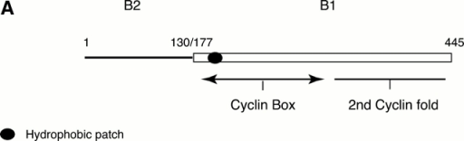 The NH2 terminus of cyclin B2 targets cyclin B1 to the Golgi and restricts its activity. (A) Schematic diagram of the chimera constructed between cyclin B2 and cyclin B1. Cyclin B2 is represented by a solid line and cyclin B1 by an open rectangle. The cyclin B2–B1 mutant exchanges at the sequence LCS (S130 in cyclin B2, and S177 in cyclin B1) in both cyclins. The hydrophobic patch is represented by the filled oval. (B) The NH2 terminus of cyclin B2 targets cyclin B1 to the Golgi apparatus. Serum-starved CHO cells were microinjected with expression vectors coding for a Golgi marker NAGT–GFP (green) and with a myc epitope–tagged cyclin B2–B1 chimera. After 6 h, the cells were fixed and stained with an anti-myc epitope antibody (red). One uninjected cell and one cell expressing the chimera are shown. (C) The NH2 terminus of cyclin B2 confers the properties of cyclin B2 on cyclin B1. Serum-starved CHO cells were microinjected with expression vectors coding for a Golgi marker NAGT–GFP and CDK1AF with a cyclin B2–B1 chimera. After 6 h, the cells were fixed and stained with an anti–β-tubulin antibody or with an antilamin antibody and TOTO-3 to visualize the DNA. Cells are representative of >100 cells analyzed in three separate experiments. (D) Cyclin B chimeras bind and activate CDK1 to a similar extent as wild-type cyclins. Human 293T cells were mock transfected with an empty vector or transfected with untagged CDK1AF and myc epitope–tagged cyclins B1, B2, or the B1–B2 or B2–B1 chimera. 12 h after transfection, cells were lysed with NP-40 lysis buffer and the transfected cyclins were immunoprecipitated with an anti-myc epitope antibody. Immunoprecipitates were processed for H1 kinase assays and the amount of phosphate incorporated was quantitated and normalized to the H1 kinase activity in the cyclin B1–CDK sample. In parallel, immunoprecipitates were immunoblotted with an anti-CDK1 monoclonal (inset) and an anti-myc epitope antibody (not shown) to demonstrate that equivalent amounts of cyclins were immunoprecipitated. Results shown are representative of two independent experiments. Bars, 10 μm.